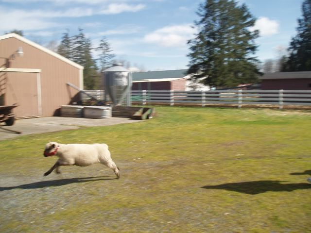 Sheep Photo of Reece