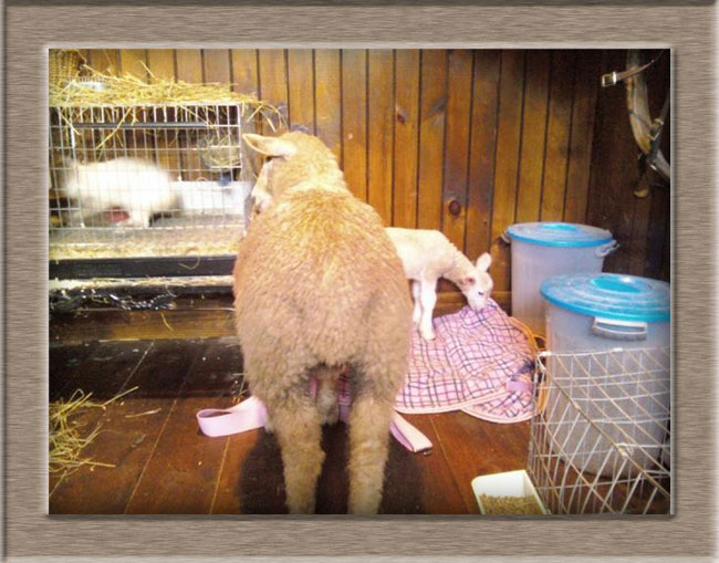 Lamb Photo of Rammie