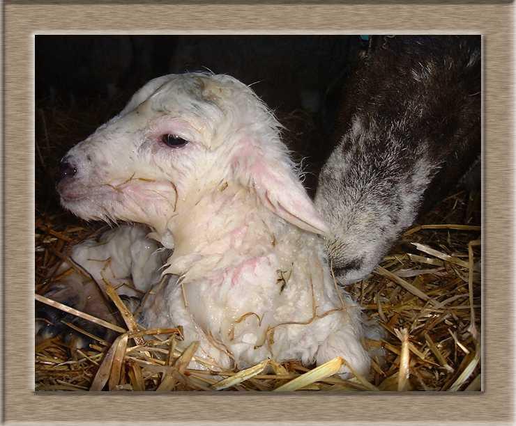 Lamb Photo of Hello World