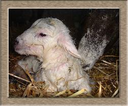 Lamb Photo - Hello World Click to Win