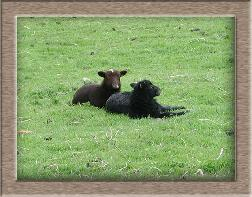 Sheep Photos - Black Sheep - Click To Enlarge