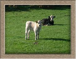 Sheep Photos - Ima cow - Click To Enlarge