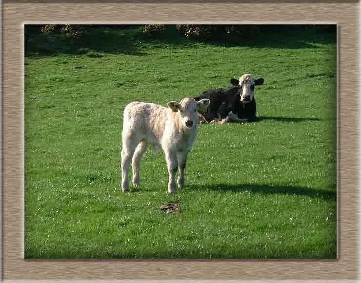 Sheep Photo of Ima cow