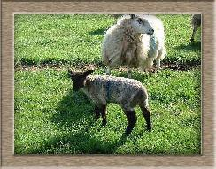 Sheep Photos - Black Socks - Click To Enlarge