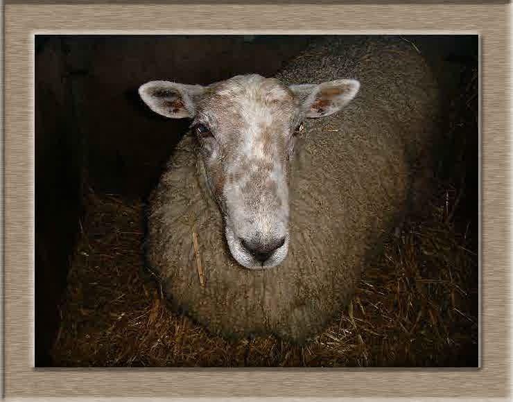 Lamb Photo of Big Mama