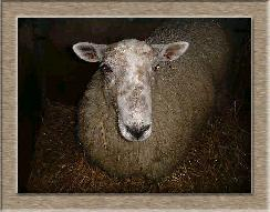 Sheep Photos - Big Mama - Click To Enlarge