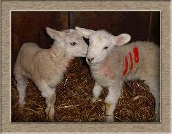 Sheep Photos - 118118 - Click To Enlarge