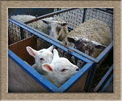 Sheep Photos - Leme Out - Click To Enlarge