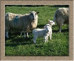 Sheep Postcard Photo
