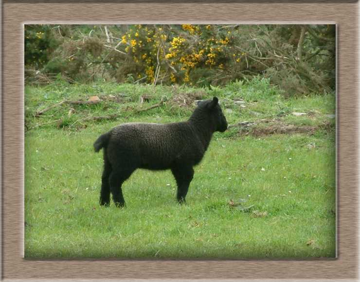 Sheep Photo of Ruby