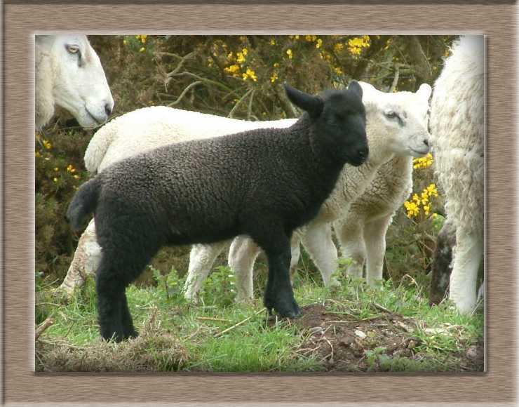 Sheep Photo of Ruby and Diamond