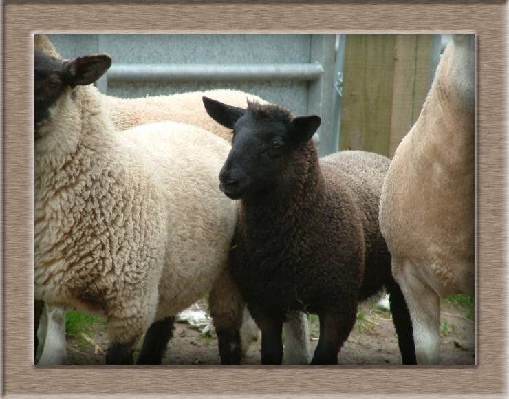 Sheep Photo of Toughy