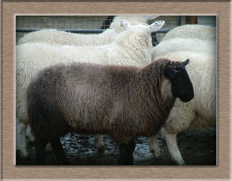 Sheep Photo of Brownie my pet