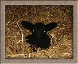 Lamb Photo - Blue Eyes Click to Win
