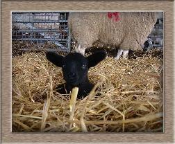Sheep Photo - Titch Click to Win