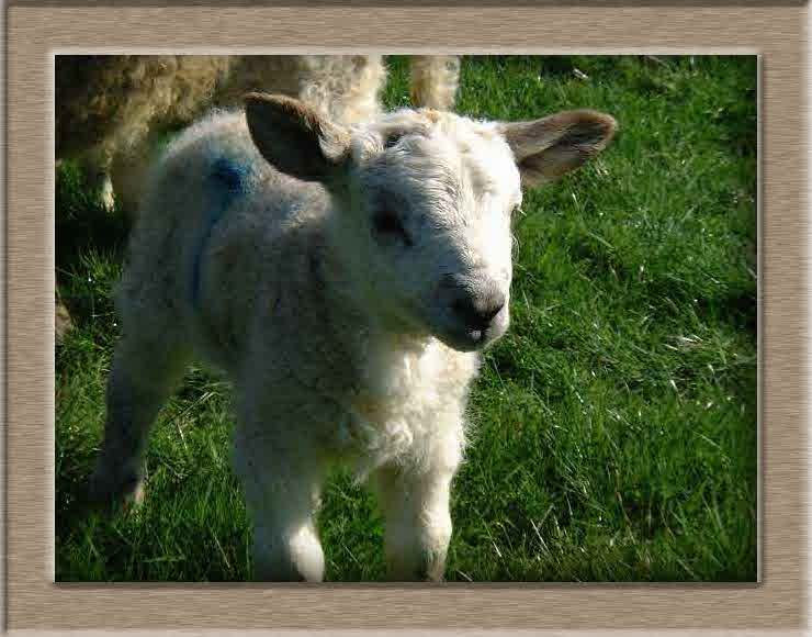 Lamb Photo of Fluffy