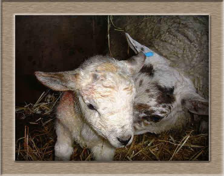 Sheep Photo of Nuzzle
