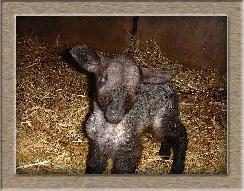 Sheep Photo - The Minister Click to Win