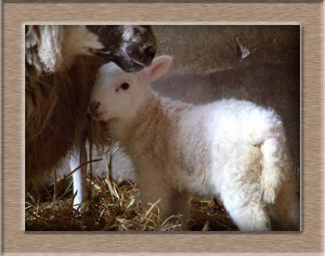Sheep Photo of Cuddles