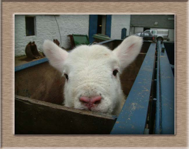 Sheep Photo of Pinky