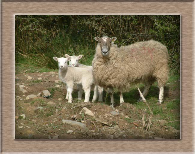 Lamb Photo of Usnmum
