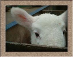 Lamb Photo - Peek A Boo Click to Win