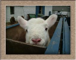 Sheep Photo - Pinky Click to Win