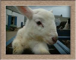 Lamb Photo - Donner Click to Win