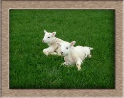 Lamb Photo - Resting and Relaxed Click to Win