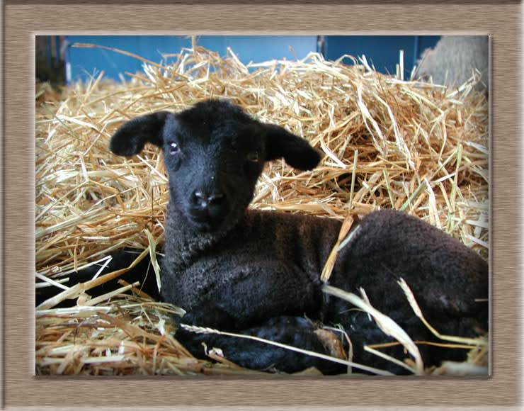 Sheep Photo of Inky
