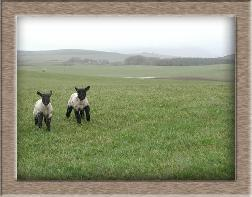 Sheep Photos - Marathon Twins - Click To Enlarge
