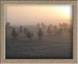 Click to see full size sheep photo