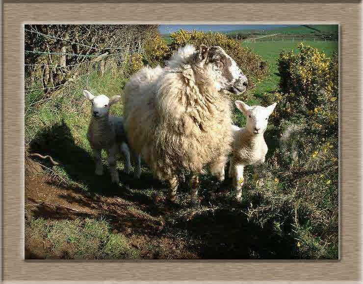 Sheep Photo of Peeky