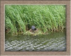Click to see moorhen full size