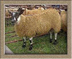 Lamb Photo - Click Hooray Henry to Win