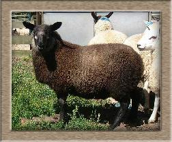 Lamb Photo - Click Gomez to Win