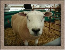Lamb Photo - Click Witje to Win