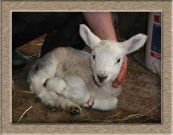 Sheep Photos - Petrified - Click To Enlarge