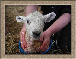 Sheep Photos - Lambina Bucket - Click To Enlarge